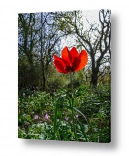 פרחים רקפת | אדום אדום