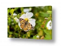 תמונות לפי נושאים חיות | מנוחת הפרפר