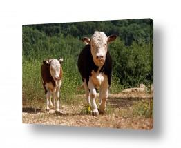 יונקים פרה | טיול בוקר
