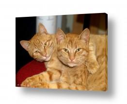 חיות מחמד חתול | סחבקים