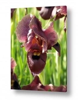 צמחים צמח בר | איריס