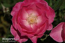 ורד Rose