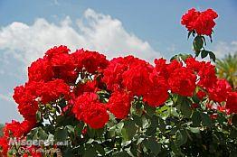 ורד יום העצמאות