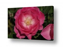 ימים ואגמים בישראל כנרת | ורד Rose