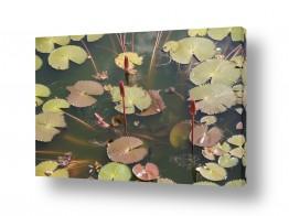 פרחים לוטוס | Lotus Flower פרחי לוטוס