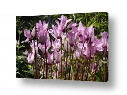 פרחים רקפת | רקפות Cyclamen