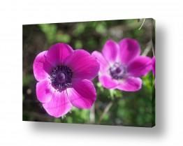 פרחים כלנית | כלניות