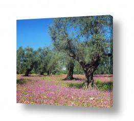 עץ עץ זית | כרם זיתים בורוד