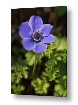 פרחים כלנית | כלנית