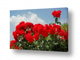 פרחים שושנה   ורד יום העצמאות