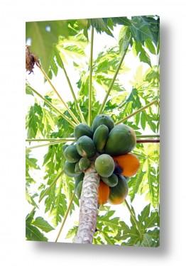 צילומים אריק בלקינד | פפאיה Papaya