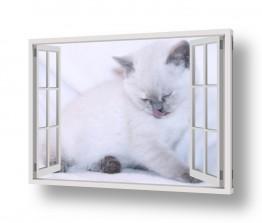 חיות בית חתולים   חתול לבן בחלון