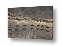 יונקים גמל | נתיב השיירה