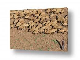 צילומים צילום אוויר | כבשי הרש