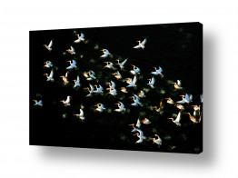 צילומים צילום אוויר | שקנאים pelicans