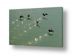 תמונות לפי נושאים צילום אוויר   אצו רצו ברווזים