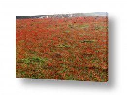 פרחים כלנית | צבע אדום