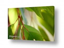 עלים ירוקים ירוק | אקליפטוס