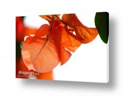 איה אפשטיין איה אפשטיין - צילומי טבע אומנותיים - פרח | בוגנביליה