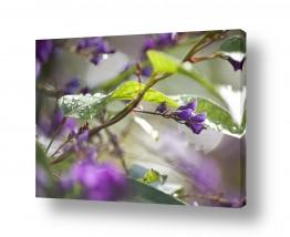 איה אפשטיין איה אפשטיין - צילומי טבע אומנותיים - פרח | מטפס סגול וטיפות גשם