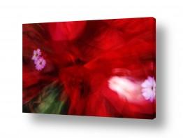 איה אפשטיין איה אפשטיין - צילומי טבע אומנותיים - פרחים | אדום