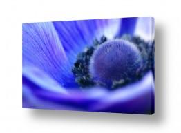 פרחים פרחים | anemone