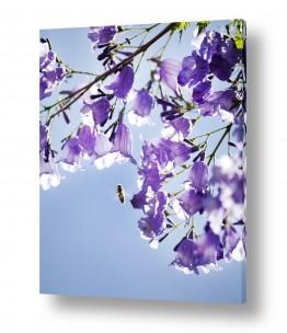 איה אפשטיין איה אפשטיין - צילומי טבע אומנותיים - פרח | סיגלון