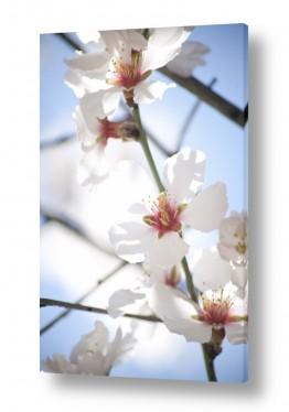 פרחים פרחים | שקדיה #1