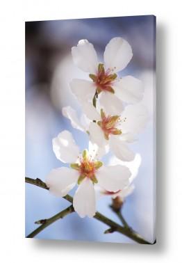 פרחים פרחים | שקדיה #2