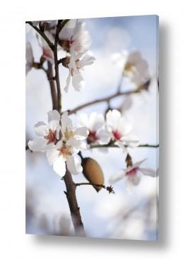 איה אפשטיין איה אפשטיין - צילומי טבע אומנותיים - פרחים | שקד