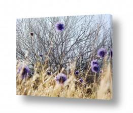 איה אפשטיין איה אפשטיין - צילומי טבע אומנותיים - צמח | קיפודן סגול 2