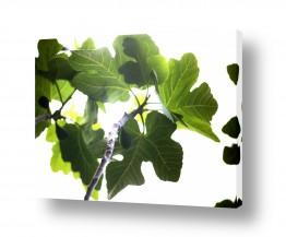 איה אפשטיין איה אפשטיין - צילומי טבע אומנותיים - צמח | תאנה