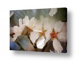 פרחים פרחים | שקדיה