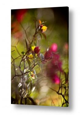 פרחים פרחים | Bougainvillea