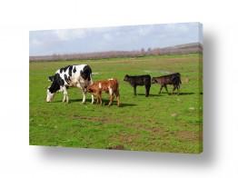 יונקים פרות   אני ראשון