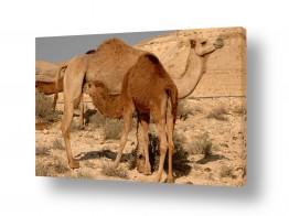 יונקים גמל | בכר ונאקה
