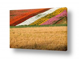 פרחים נורית | שטיח פריחות