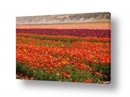 פרחים נורית | נוריות בעמק