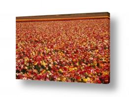פרחים נורית | מרבד נוריות