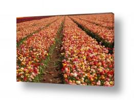 פרחים נורית | שלל צבעים