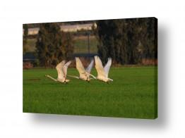 עוף מים ברבור | מעוף הברבורים