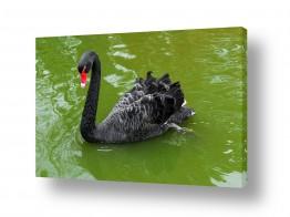 עוף מים ברבור | ברבור שחור