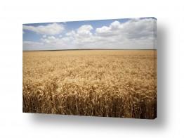 שדות חיטה | שדה חיטה