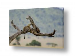 צילומים אייל ברטוב | מנוחת הנמר