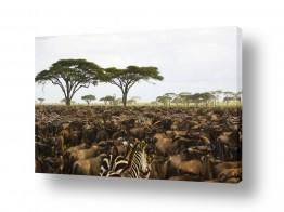 יונקים זברה | סוואנה אפריקנית