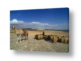 צילומים אייל ברטוב | עדר במדבר