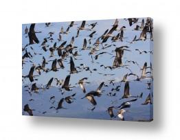 תמונות לפי נושאים גורים | מעוף עגורים