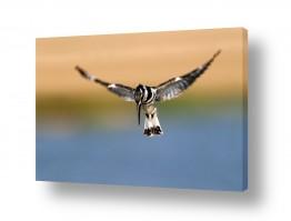 צילומים אייל ברטוב | ריחוף הפרפור
