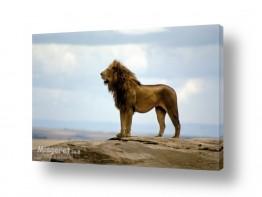 עולם אפריקה | מלך האריות