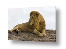חיות חיות בר | אריה ברוח